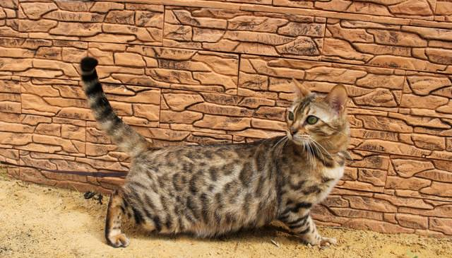 Следует защитить кошку от нашествия блох, применяя профилактические меры защиты