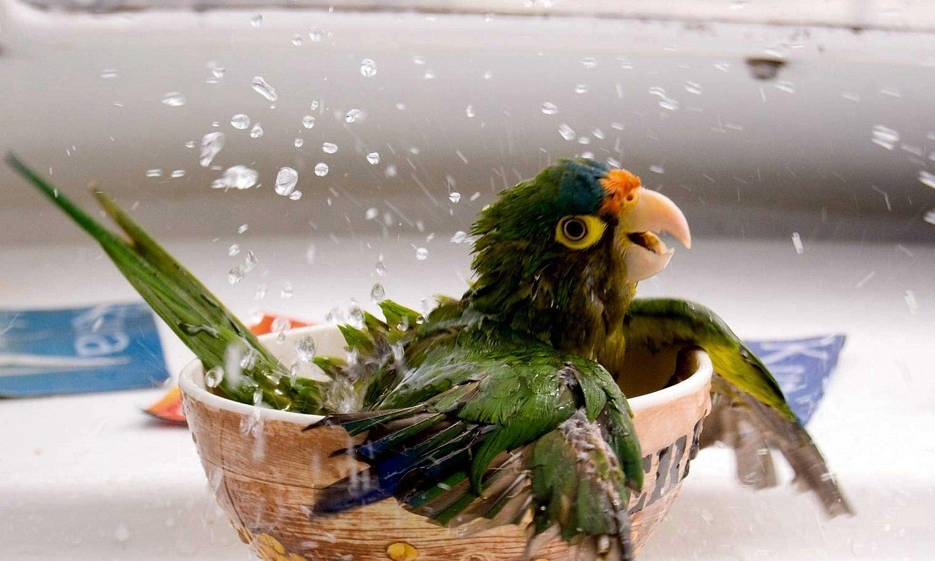 Можно устраивать ванночки для попугаев, используя инсектицидные средства и антиблошиный шампунь
