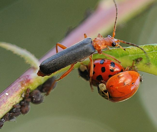 Поскольку эти жуки охотятся на тлю, гусениц, личинок и иных вредителей, польза мягкотелок для сада-огорода сомнению не подвергается