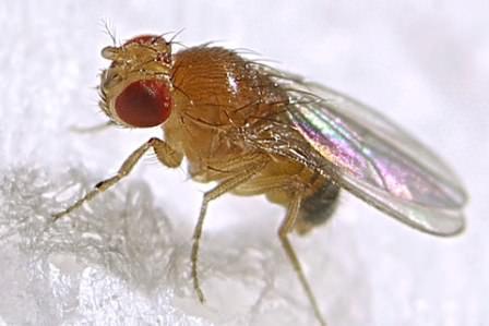 Избавиться от мух дрозофил достаточно просто. И для этого вовсе не нужны токсичные средства
