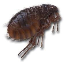 Блохи в квартире черного цвета – довольно шустрые насекомые