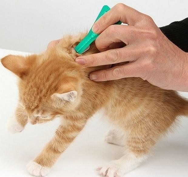 Втирать капли, в основе которых содержится чистотел, в шерсть животного не требуется