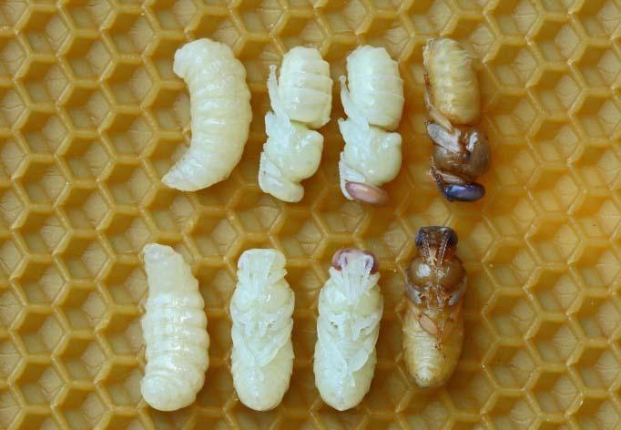 В процессе роста пчелиная личинка меняет название и внешний облик