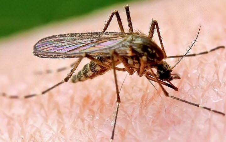 Комар – самый распространенный и общеизвестный паразит