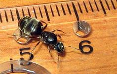 Домашние муравьи очень часто становятся достаточно большой проблемой для домовладельцев