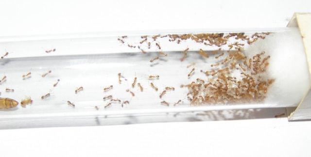 Живут домовые муравьи в комнатах, перекрытиях, под плинтусами, под штукатуркой и облицовкой