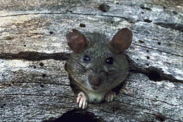 Кошачьи блохи при переходе на крыс способны вытеснять с грызуна крысиную блоху
