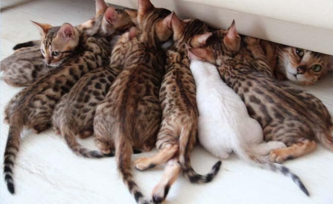Противопоказано использовать капли для беременных и кормящих животных, для котят, чей возраст не достиг 10 недель