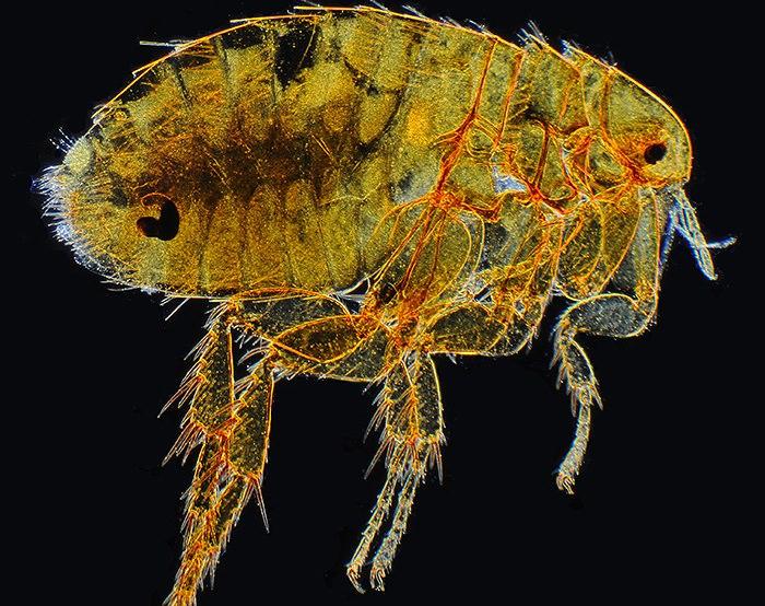 Крысиные блохи могут переносить тиф, чуму и прочие страшные болезни
