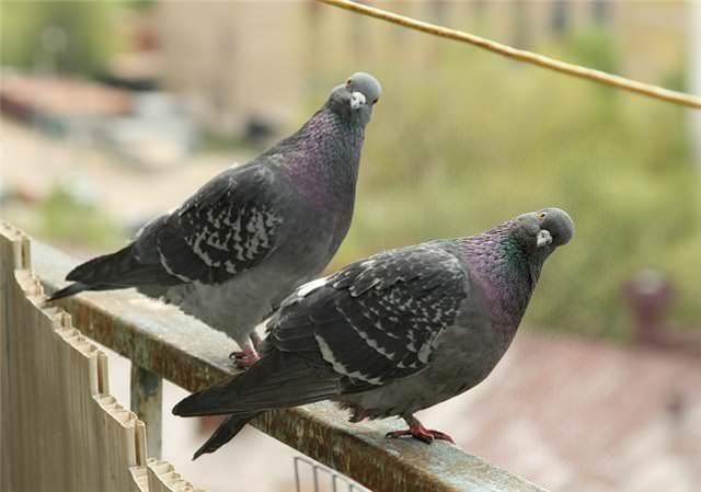 Клещ может быть занесён дикими и перелётными птицами, которые являются носителями этих паразитов
