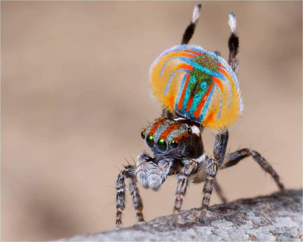 Если бы пауки проводили чемпионаты по брачным танцам, их ежегодным победителем становился бы паучок-павлин