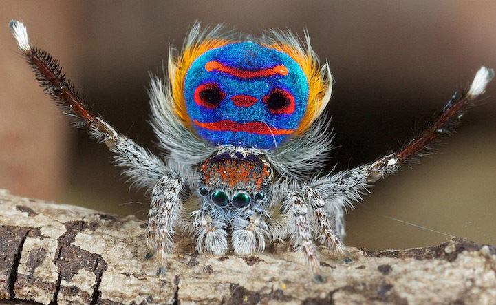 Павлиний паучок принадлежит к семейству пауков-скакунчиков