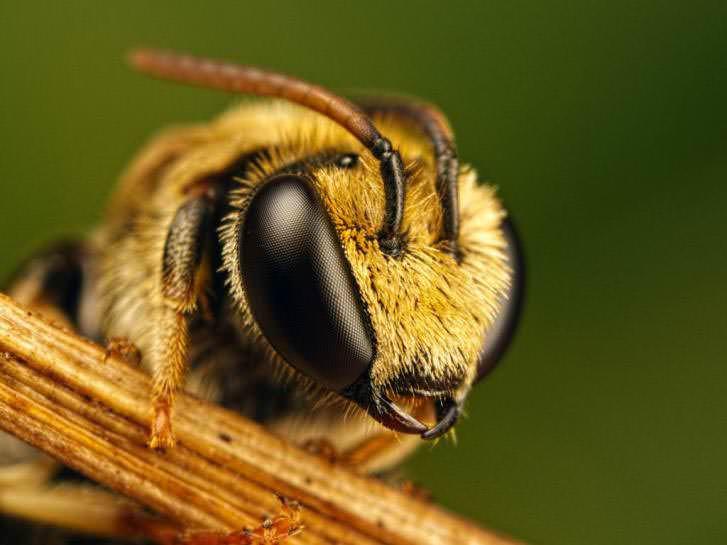 При укусе шершней, пчел и ос появляются болезненные отеки