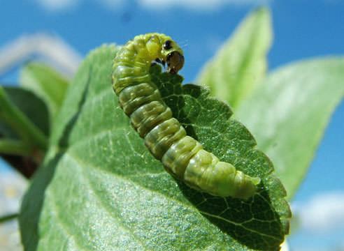 Если поврежденных листьев крайне мало, надо попробовать очистить их вручную, аккуратно разворачивая и освобождая от личинок