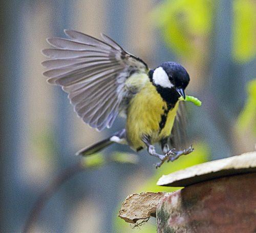 Если птицы станут вашими помощниками, вредители будут докучать вам меньше
