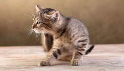 Котята точно также, как и свои взрослые сородичи, могут страдать от блох