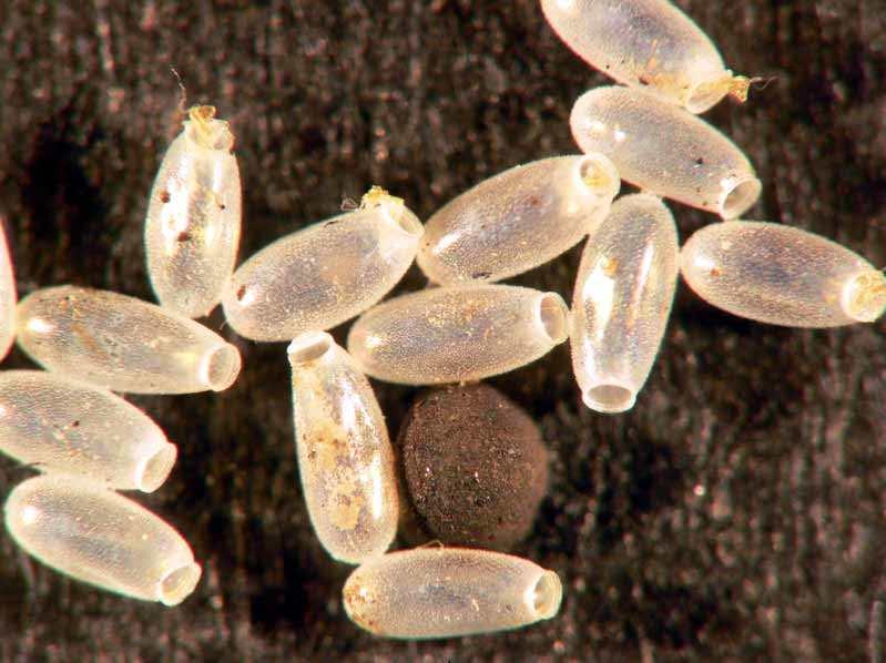 Керосин не может уничтожать яйца – в силу того, что он действует на дыхательную систему