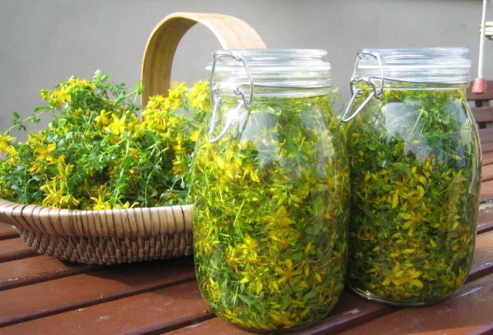 Самая эффективная лечебная трава от укусов клопов – зверобой