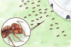 Люди придумали различные приманки, чтобы вывести муравьев