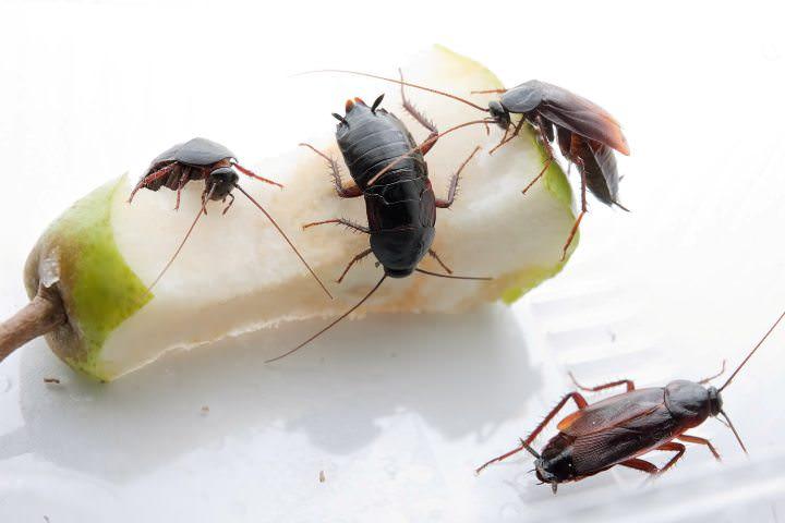 Тараканы могут стать переносчиками различных заболеваний