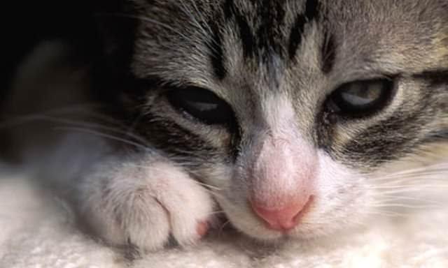 Труднее всего лечатся котята. К тому же у них наблюдается самое большое количество осложнений от отравления погибающими глистами