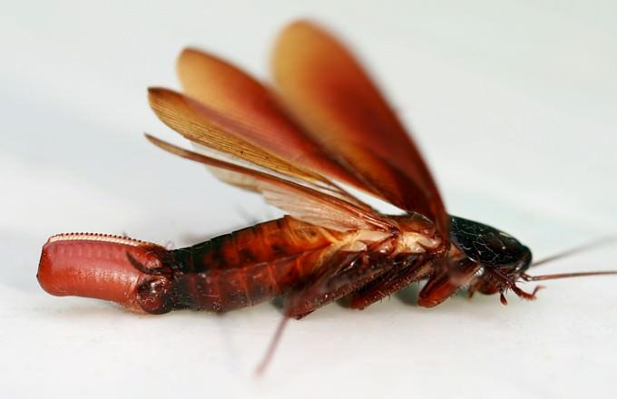 Вырастают крылья у таракана не сразу