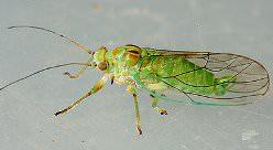 Травяные эктопаразиты или Psyilidae относятся к отряду полужесткокрылых или Rhynchota