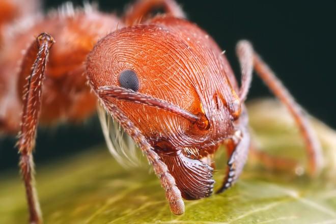 Только один может жить в квартире постоянно – это красные или рыжие крохотные муравьи, именуемые домашними