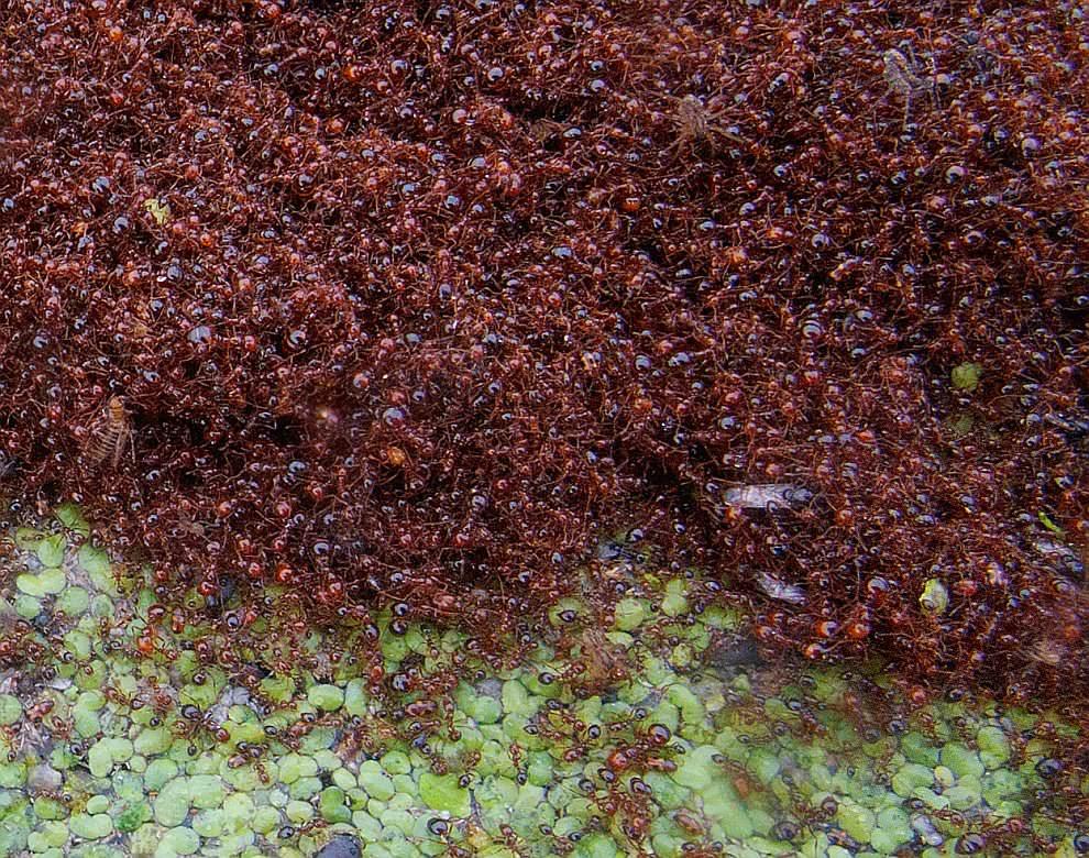 Муравьи живут колониями. Пугает цифра – в одной колонии может быть до 300 000 особей