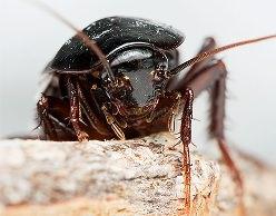 Если черные тараканы завелись в доме, они попытаются заполонить все пространство