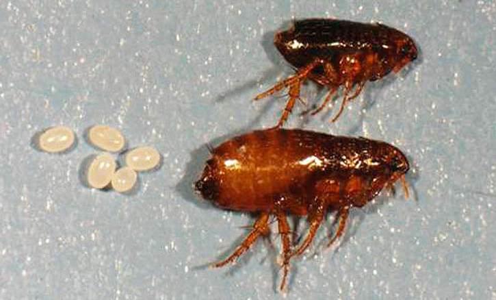 Стимулом к росту и развитию насекомых служат человеческое тепло и наличие одежды, к которой паразиты прикрепляют яйца