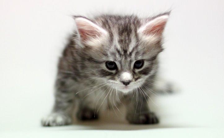 Препараты серии «Фронтлайн» запрещено применять для обработки котят моложе двухмесячного возраста