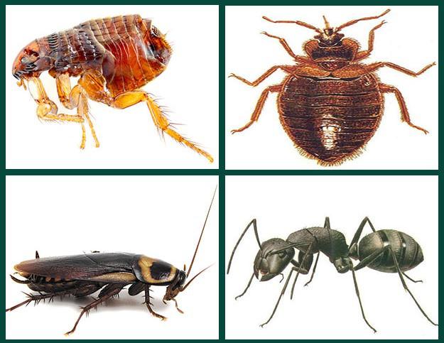 «Домовой» эффективен в борьбе с домашними муравьями, блохами и прочими насекомыми