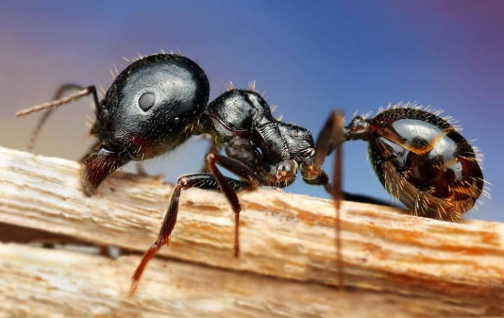 «Чистый дом» действует не только против тараканов, но и на муравьев
