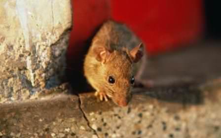 Проблема, как избавиться от крыс в частном доме, знакома многим современным людям