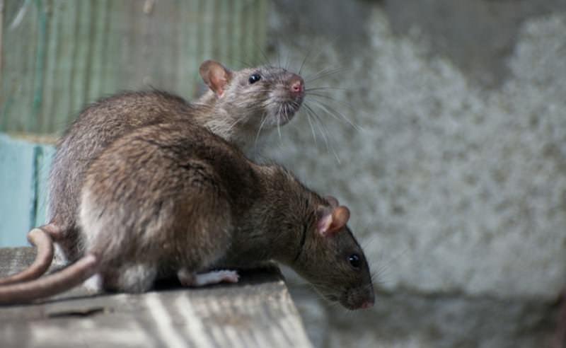 Некоторые исследователи утверждают, что крысы могут распознавать яды и в дальнейшем передавать сведенья о них следующему поколению