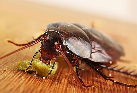 Поедая «Регент» или даже просто коснувшись его, насекомое заражается и погибает
