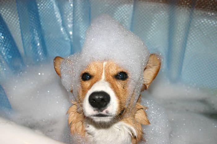 Шампунь «Луговой» разработан для уничтожения блох, клещей и некоторых других кровососущих паразитов на собаках и кошках