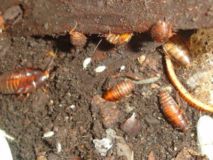 Развитие личинок мексиканского таракана происходит в земле
