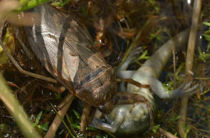 Водяной клоп – хищное насекомое