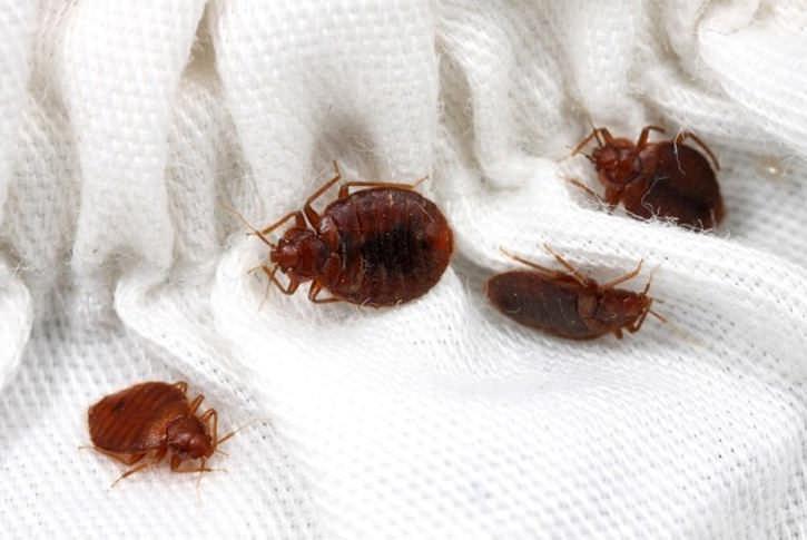Клопы могут считаться паразитами уникальными, легко приспосабливающимися к любым условиям