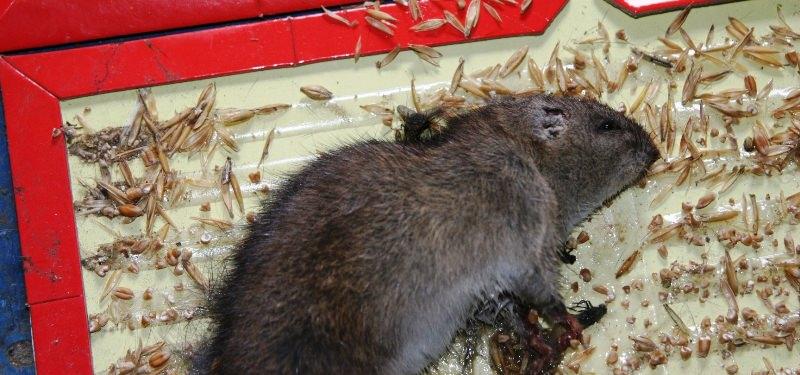 Существует несколько эффективных способов борьбы с крысами