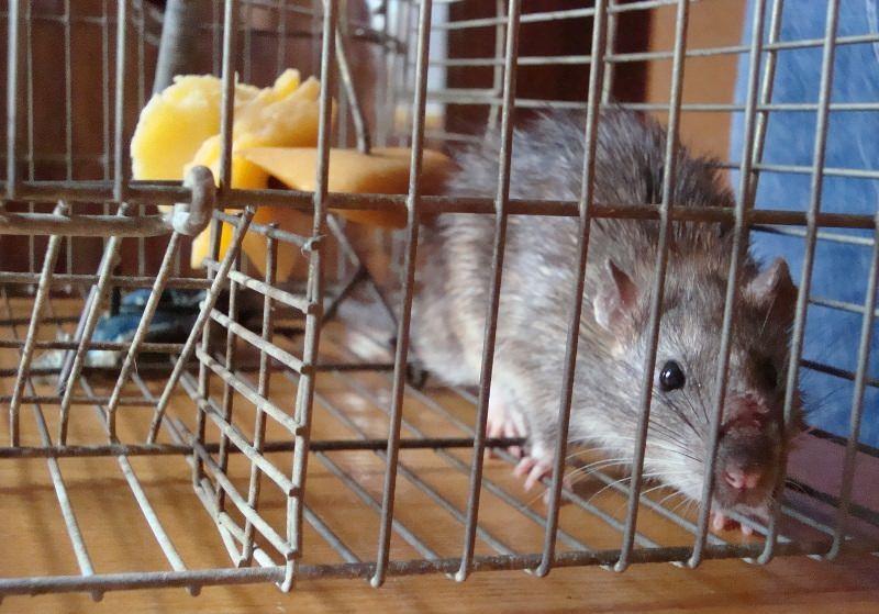 Крысы могут появиться в квартире в редких случаях. Намного чаще непрошенные гости селятся в домах