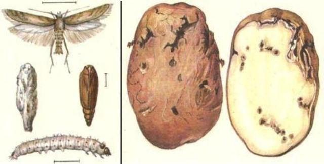 Пораженный личинками клубень непригоден в пищу. Достаточно всего 5–7 гусениц, чтобы превратить, например, картофелину, в подобие губки, с пустой пористой сердцевиной