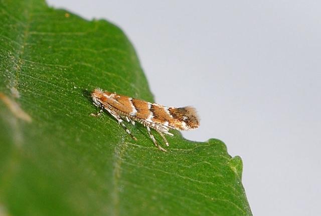 В тех городах, где уже существуют каштановые аллеи, нужно в начале весны обрабатывать стволы деревьев инсектицидами