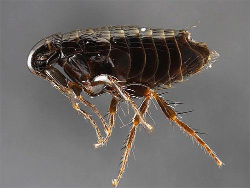 крупные паразиты у человека