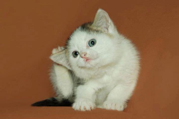 Наиболее распространенные причины зуда у животных и котят в том числе – паразиты, особенно блохи и ушные клещи