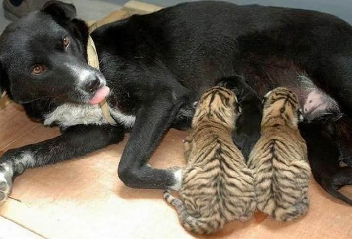 Запрещено использовать капли «Гамма»  для кормящих либо беременных животных