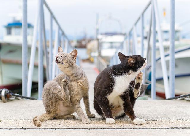 В отсутствие человека блохи могут перейти на собак и кошек