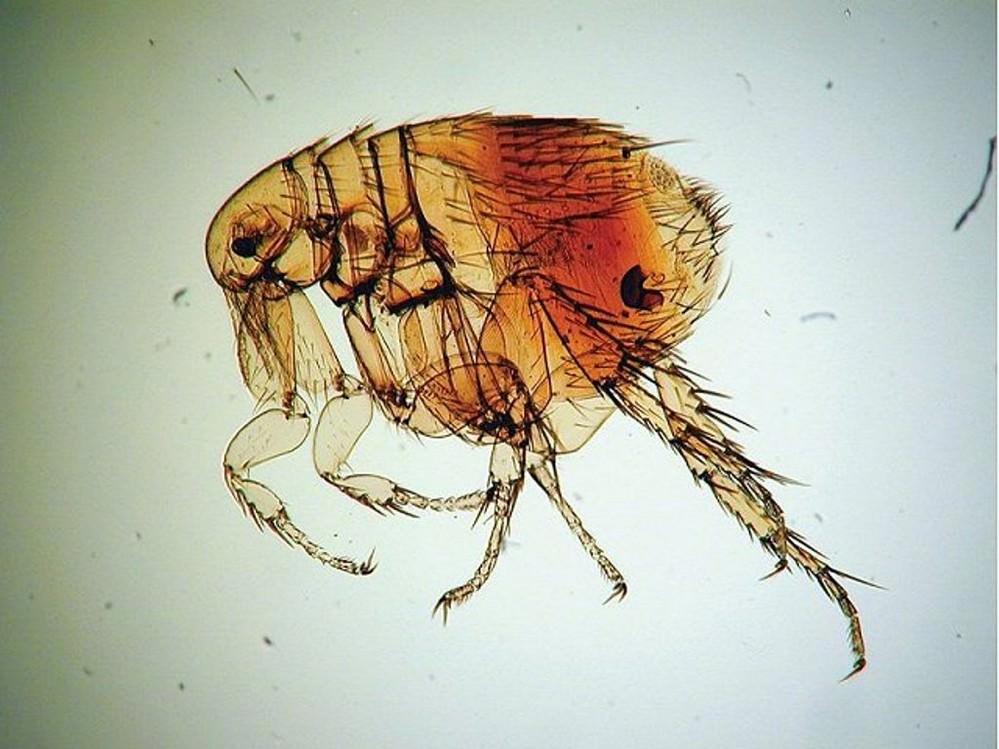 Пиретрум помогает отгонять кровососущих насекомых